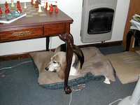 Well fed hound dog.