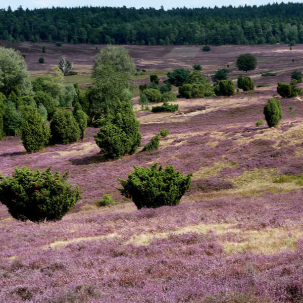 Luneburg Heath in Lower Saxony Germany. A perfect place to visit, to tour, and to eat blueberries