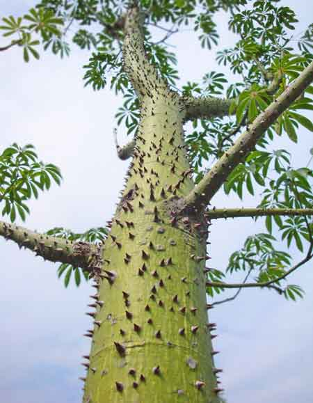 prickly-tree